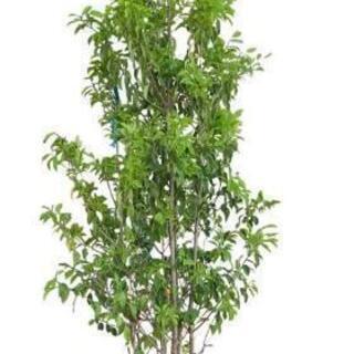 常緑の庭木をお譲り下さい。