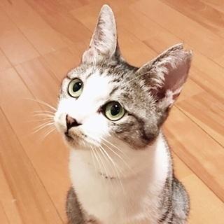 宇佐市、成猫のサバ白の女の子です