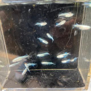 プラチナ星河✖︎他品種メダカF1