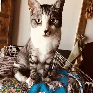 宇佐市、成猫のサバ白の男の子です