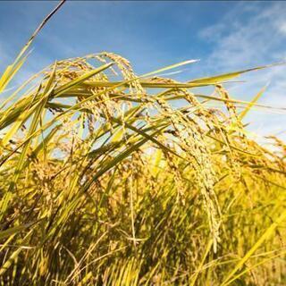 【ネット決済・配送可】令和3年産 新米コシヒカリ玄米