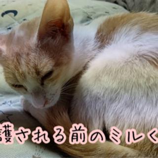 【毎週日曜譲渡会】薄い茶白の男の子 - 猫