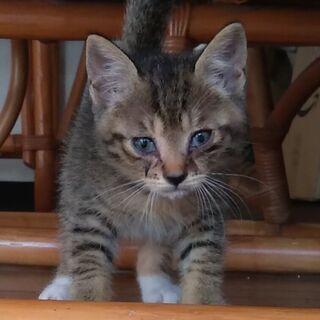 急募:保護猫ちゃん生後7週ぐらいキジシロくんの家族を探しています - 田川郡