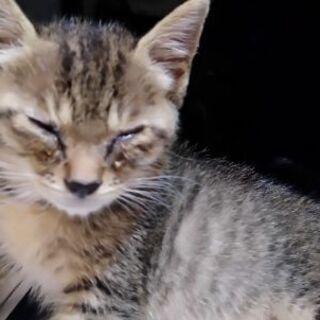 急募:保護猫ちゃん生後7週ぐらいキジシロくんの家族を探しています - 猫