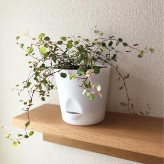 観葉植物 ワイヤープランツ② 4号の底面給水鉢付き