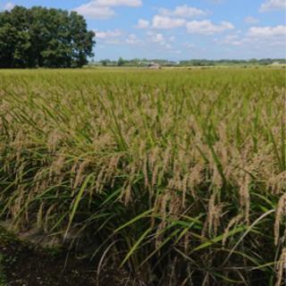 とちぎの星 令和3年産 新米 玄米30㎏ 残り7袋