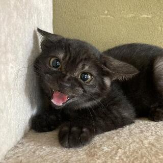 珍しい黒トラちゃん女の子 - 猫