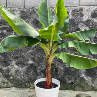 【ネット決済・配送可】沖縄産三尺バナナの苗木 大苗150㎝