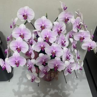 胡蝶蘭 ピンク 3列