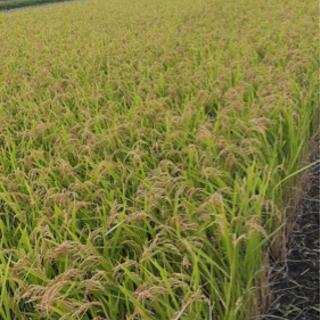 キヌヒカリ 玄米30キロ