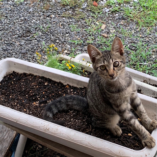 お目目くりくり✨元気なキジ子猫里親様募集してます。