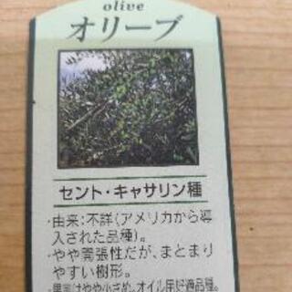 【ネット決済】オリーブ苗木 セントキャサリン