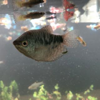 熱帯魚 グラミー