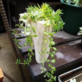 多肉植物・気根付き・寄せ植えやグランドカバーに