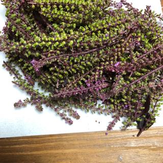 家庭菜園 穂紫蘇