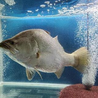 【ネット決済】【引き取り限定】熱帯魚 オーストラリアバラマンディ...