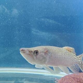 【ネット決済】【引き取り限定】熱帯魚 アフリカンパイクカラシン