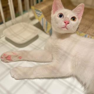 お豆兄弟 だいず♀ オッドアイ 白猫 推定4ヶ月❣️