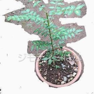【レア】山椒の苗木  (トゲあり)1部配達あり