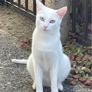 急募!幸運のオッドアイ白猫のメス♀✨1歳3ヶ月✨
