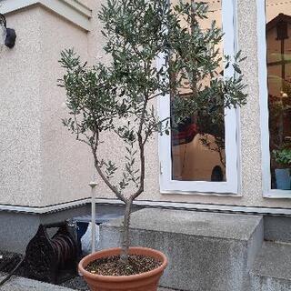 オリーブの木 170センチ ネバティロブランコ