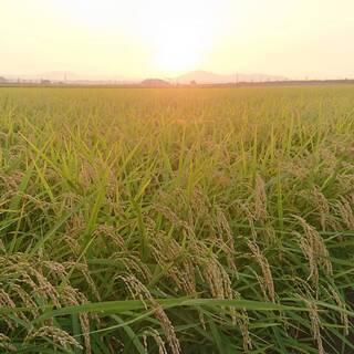 【ネット決済】新米【七城米】ヒノヒカリ 30キロ・玄米