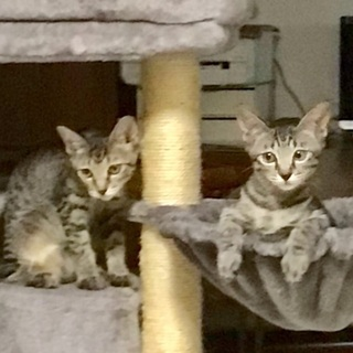 見るたび可愛くて笑顔🥰姉妹猫4ヶ月 - 葛飾区