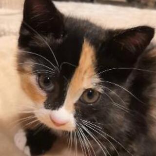 生後7週の甘えん坊な三毛猫の女の子