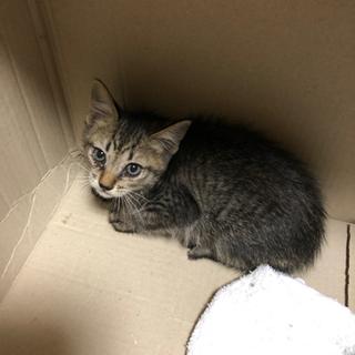 「急募」生後 3週間から1ヶ月程の子猫 里親募集
