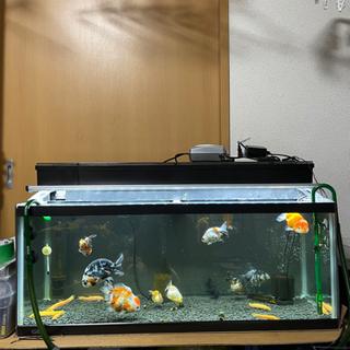 【ネット決済】金魚全部+水槽+上部濾過+LEDライト 生体のみな...