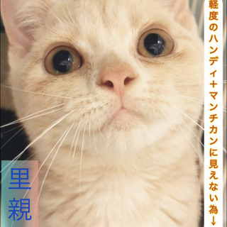 マンチカン 子猫ちゃん ●●● 本文をよくご覧下さいませ。 アゴはネコ
