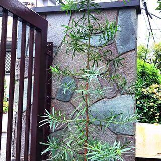 ★ 苗木 ★ 庭木 ★ 樹木 ★ マキ ★ 約150cm