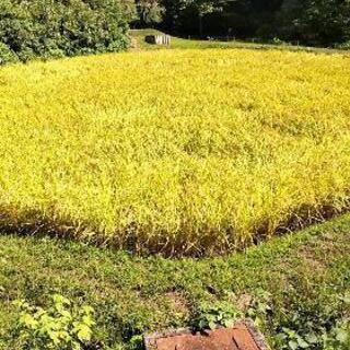 令和2年 コシヒカリはさかけ米 玄米30kg