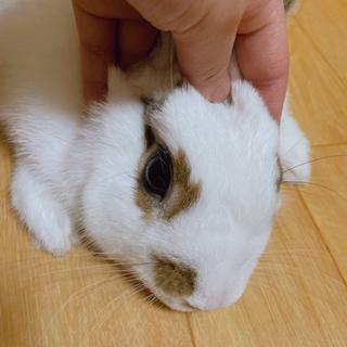 ミニウサギ1歳♂