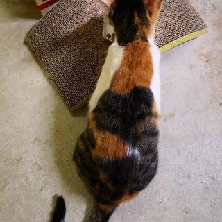 ※再募集※見学、トライアル可※とても人懐っこい三毛猫ちゃん🐈(推定2歳くらい) - 猫