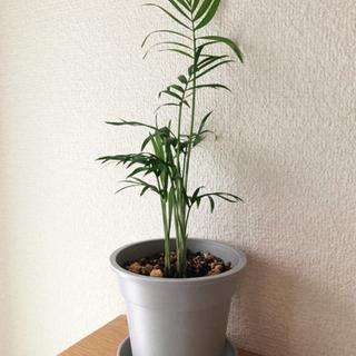 観葉植物 テーブルヤシ⑦ 27cm グレーカラーの3.5号…