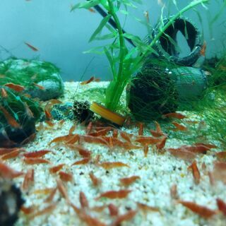 レッドファイアーシュリンプ 抱卵個体を含む4匹