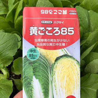 白菜 苗 黄ごころ 3ポット¥100