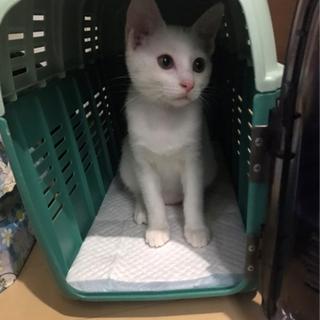 【毎週日曜譲渡会】可愛い白猫ちゃん