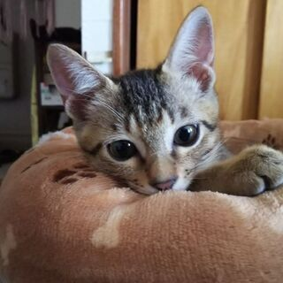 可愛いキジトラ子猫♂