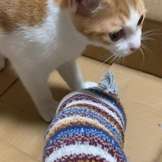 茶白な美猫✨(避妊手術・ウィルス検査・ワクチン接種・ノミダニ駆除済み)