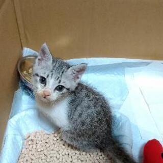 (トライアル決定)縞三毛 甘えん坊の子猫