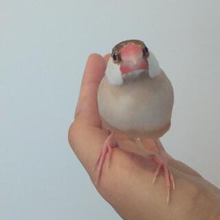【シナモン文鳥】R3.1月生まれの手乗り文鳥です