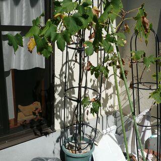 鉢植え(ブドウ:シャインマスカット・ゴールドフィンガー)