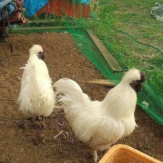 烏骨鶏(成鳥・オス)2羽の里親募集