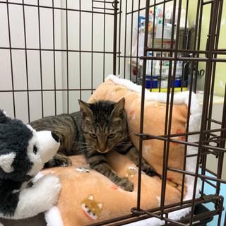 ただ今動物病院でお泊まり保育中♪先生お墨付きの可愛い猫です^ ^