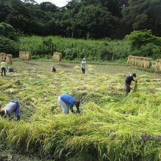 稲刈り~自然農の米作り~もち米
