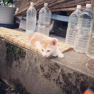 オス子ネコ。トラ白ちゃん