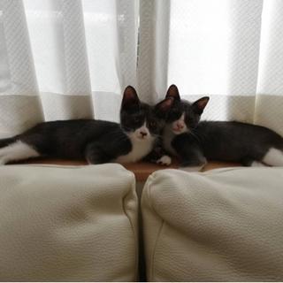 【仔猫5ヶ月 受付停止中】グレー(ロシアンブルー系)と白のソック...