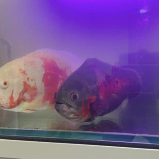 【ネット決済】熱帯魚 オスカー ポリプテルス 古代魚 90センチ水槽